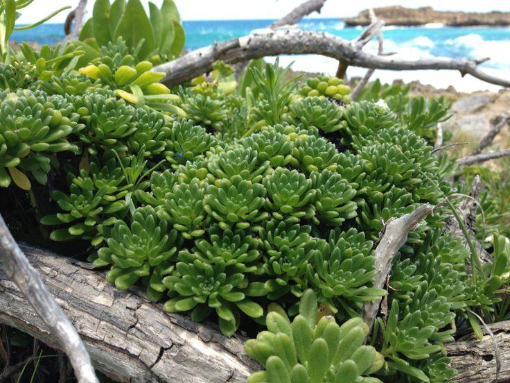Aweoweo Plant