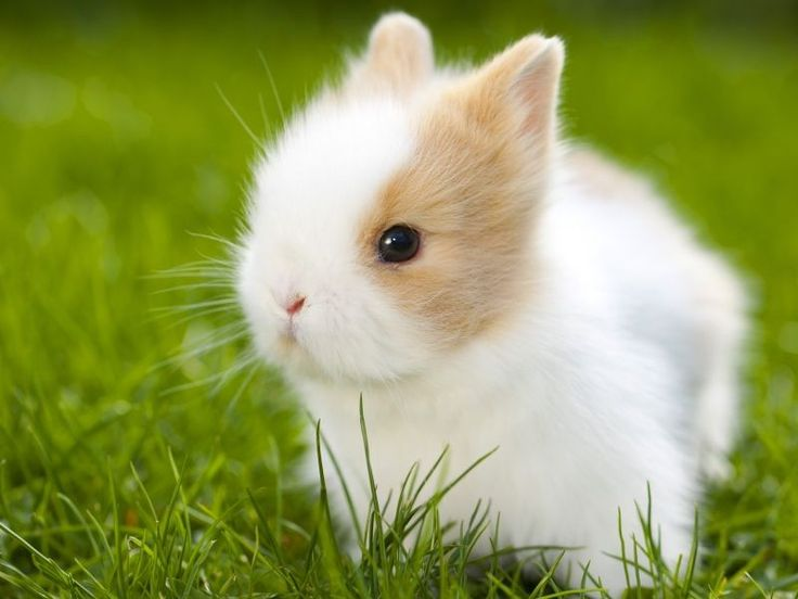 Dwarf Rabbit: So sweet are the little rodents