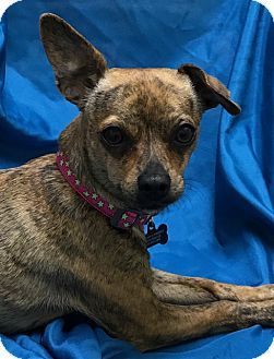 San Leandro, CA - Italian Greyhound/Chihuahua Mix. Meet Brittany, a dog for adoption. http://www.adoptapet.com/pet/18009798-san-leandro-california-italian-greyhound-mix