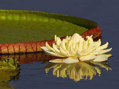 Vitória régia do Pantanal