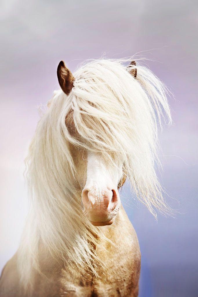 "threefivegaitedidiots: "" maneofthunder: "" Magic Stallion - Icelandic Horse by Gigja Einarsdottir "" Who is this horse omg he's so pretty """
