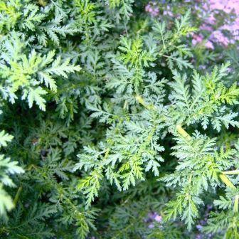 Organic  Artemisia annua  Sweet Annie by MizzTizzysWeedsSeeds, $2.95