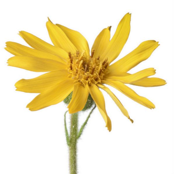 Did you know? Arnica extracts help to relieve muscle aches, spasms, pulled muscles or rheumatic pains.