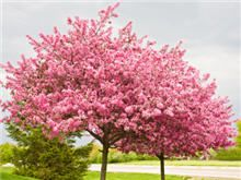 Eastern Redbud tree, matures to 20-30' in dense round shape, ideal for tight spaces