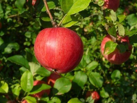 An apple a day really does keep the doctor away!  organicrestaurants.com/blog
