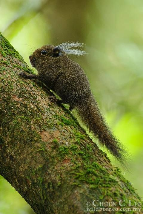 PYGMY SQUIRREL The endemic Whitehead's Pygmy Squirrel of Borneo feeds almost entirely on the mosses and lichens on tree trunks. Photographed in Kinabalu National Park, Sabah, by Chien Lee Wildlife Photography