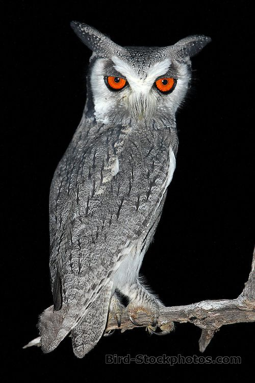 Southern White-faced Owl, Ptilopsis granti, Kruger National Park, South Africa, by Marius Coetzee
