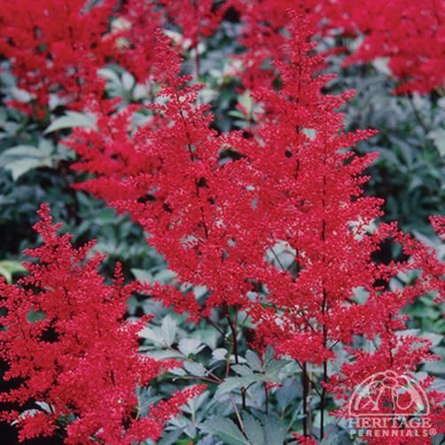 Astilbe japonica 'Red Sentinel' 2016