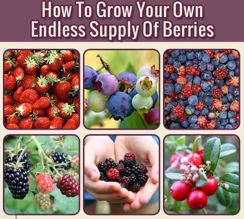 How To Grow Your Own Endless Supply Of Berries | http://homestead-and-survival.com/how-to-grow-your-own-endless-supply-of-berries/