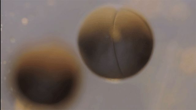 A Remarkable Time Lapse Video of Cell Division in a Frog Egg