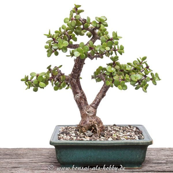 bonsai baum orme du japon ulmus japonica bonsai pictures for bonsai baum ikea wohndesign alte. Black Bedroom Furniture Sets. Home Design Ideas