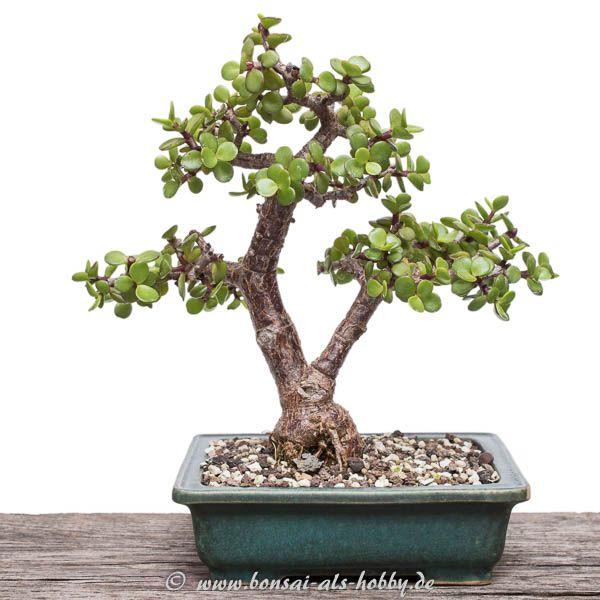 17 best images about bonsai b ume on pinterest prunus bonsai trees and japanese maple bonsai. Black Bedroom Furniture Sets. Home Design Ideas