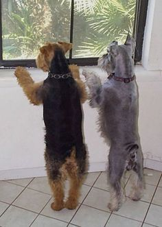 welsh terrier and buddy looking for some trouble.