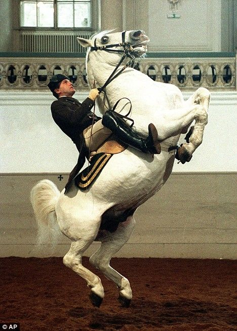 A Lipizzan stallion performs the courbette at Vienna's Spanish Riding School