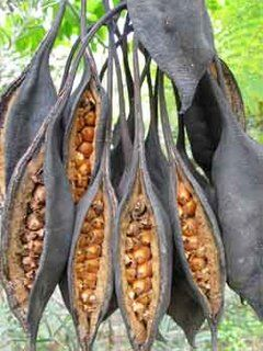 ˚Illawarra Flame Tree or Kurrajong seed pods