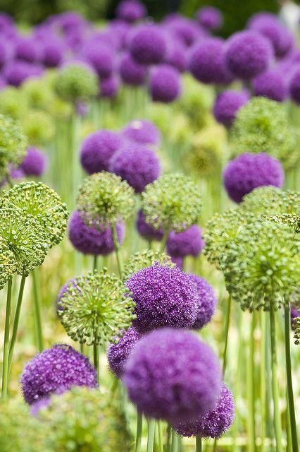 Zierlauch (Allium) im Garten - wunderschöne lila Blütenkugeln - gepflanzt werden sie als Blumenzwiebeln im Herbst