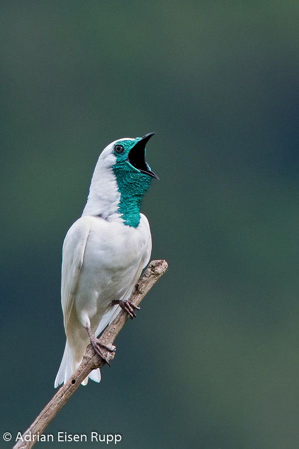 The Bare-throated Bellbird (Procnias nudicollis). It is found in Argentina, Brazil, and Paraguay.