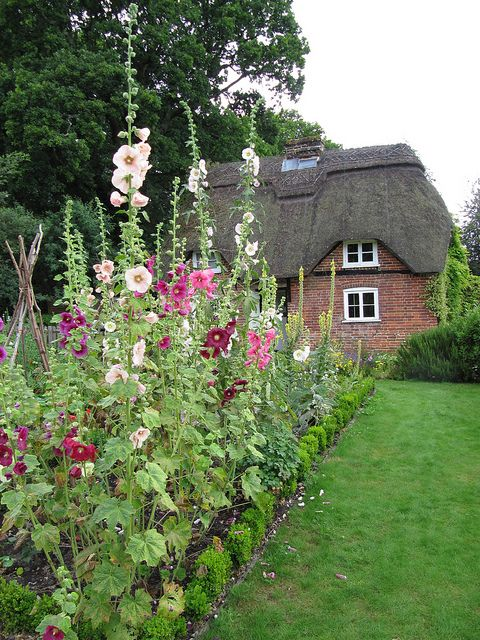 The quintessential English cottage garden with hollyhocks and thatched cottage