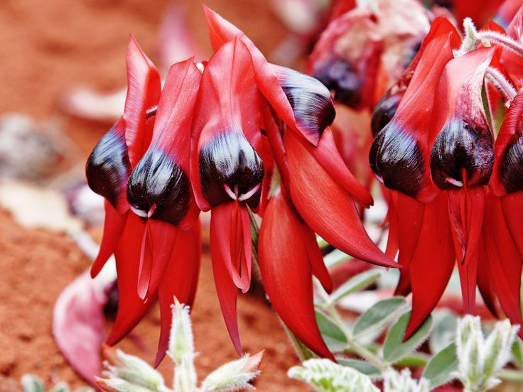 """This extremely bizarre flower is an Australian plant in the genus Swainsona, named after English botanist Isaac  Swainson, famous for its distinctive blood-red leaf-like flowers, each with a bulbous black centre, or """"boss"""". It is    one of Australia's best known wildflowers. It is native to the arid regions of central and north-western Australia,    and its range extends into all mainlands Australian states with the exception of Victoria."""