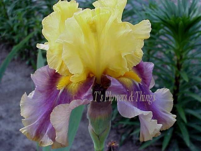 119 best iris images on pinterest iris flowers beautiful flowers and irises. Black Bedroom Furniture Sets. Home Design Ideas
