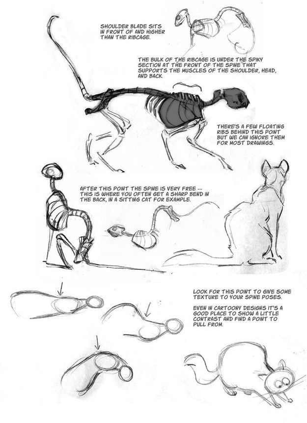Cat Anatomy Drawing Reference Guide
