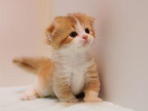 掲載No.22290)マンチカンブリーダーの子猫写真