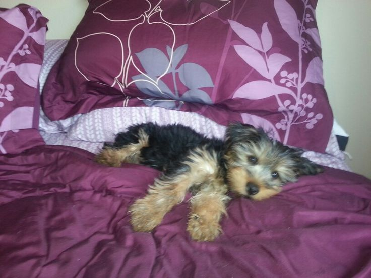he looks like a stuffed animal yorkie love pinterest as stuffed animals and animals. Black Bedroom Furniture Sets. Home Design Ideas