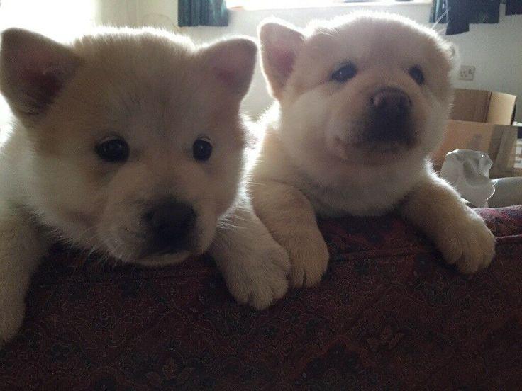 12 week old chow chow x alaskan malamute puppy. Most ...