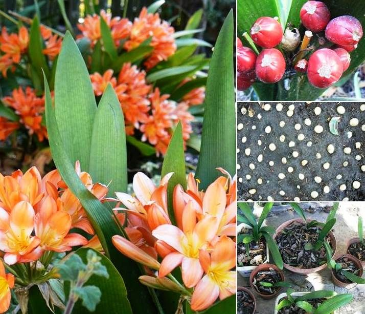 Clivia is an indigenous South African beauty that lights up winter. Here's how I propagate them: pick the fat seed pods; peel the fleshy covering; lay each pearl-like seed onto a friable medium; water occasionally. Within a couple of months, they should have rooted and grown a few leaves. I plant out (in shady areas) after about a year. Worth the effort