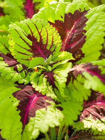 coleus shade loving with veined patter solenostemon hybrids shade or indoor 1 to