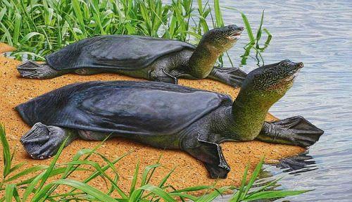Yangtze giant softshell turtle (Rafetus swinhoei)- strange creature