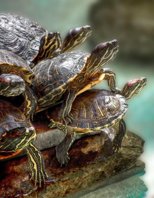 Turtles are so wonderful when they are together #totesfamily