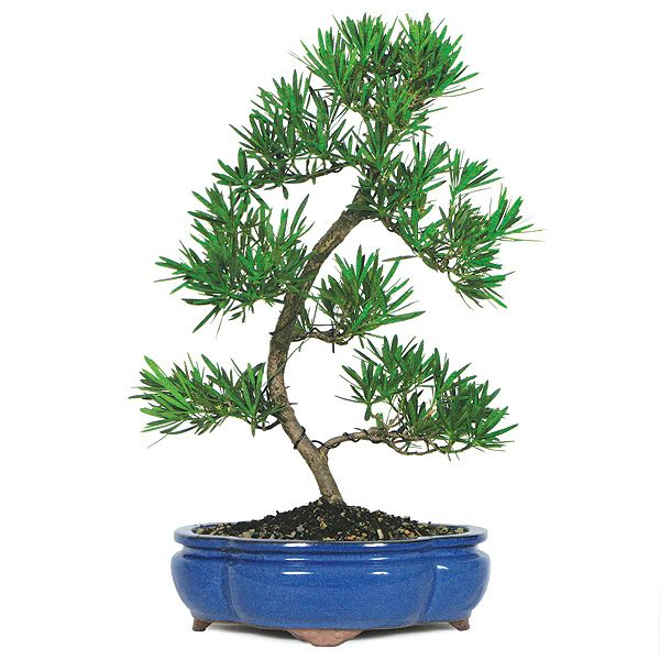 Podocarpus bonsai care