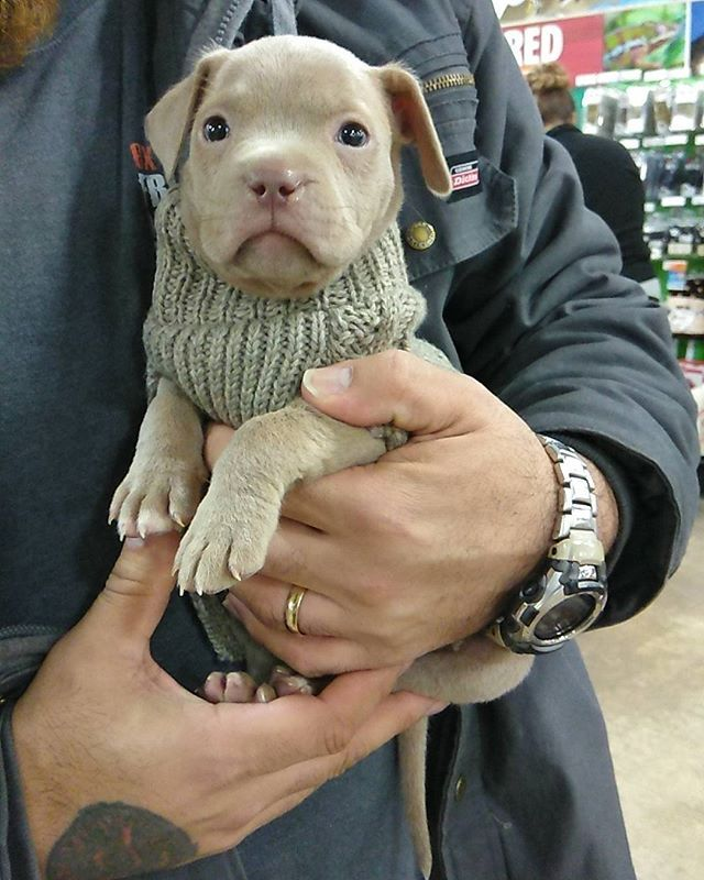 Odin The Red Nose Pitbull Puppy Stopped By To Pick Out A New