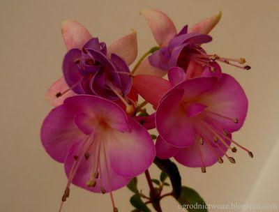 Ogrodnictwo od A do Z: Fuksja- Fuchsia