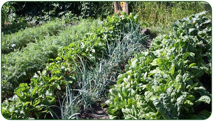 növénytársítás a zöldségeskertben