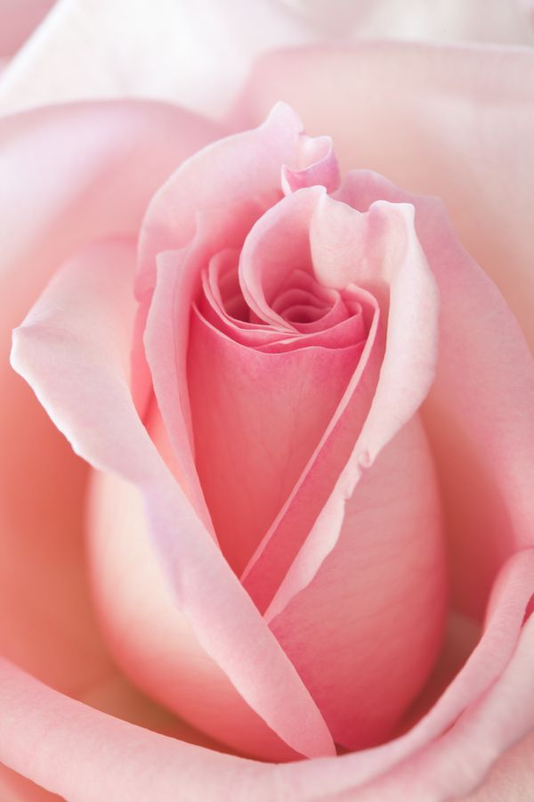 Pink Pink Pink! I've always been a huge fan of pink roses and these are exceptionally pretty.