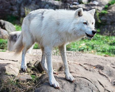 Descargar - Pie de lobo ártico en rocas — Imagen de stock #3998941