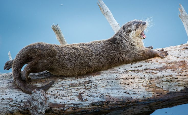 #River #Otter in #Yellowstone | #Wildlife being wild