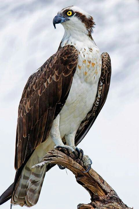 The Osprey, (Pandion haliaetus.) Sometimes known as The Sea Hawk, Fish Eagle, River Hawk or Fish Hawk: A diurnal, fish-eating bird of prey. It is a large raptor, reaching more than 60cms (24ins) in length and 180cms (71ins) across its wings. In North America it breeds from Alaska and Newfoundland; South to The Gulf Coast and Florida.
