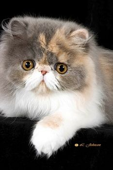 Why choose a colour when this one has them all? Exotic Shorthair
