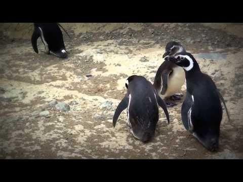 Penguins Island, Isla Magdalena Punta Arenas Chile @thisischile @patagoniacl @Traveler2be @traveloutbackoz @paulhjohnson @traceyctt @minitroletours @viajeropeligro @viajarmarrakech @fenikasviajeros @inexplorando @porticorural @thelatefarmer @mochileroeneuro @recorriendocom