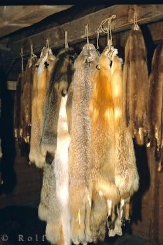 Animal pelts lined up at Lower Fort Garry, a historic fur trading post in Manitoba, Canada.