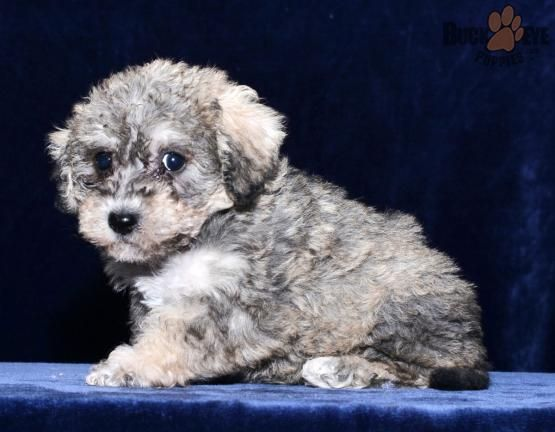 Rambo! Mini Schnoodle Puppy for Sale in Millersburg, OH