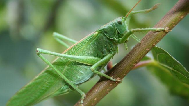 Herunterladen 1920x1080 Full HD Hintergrundbilder insekt close-up heuschrecke 1080p