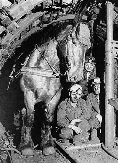 Pit ponies of the coal mines are easily the most controversial working horses in history.  Here a mining horse posses with his coworkers.  In the 1960s, mechanization eliminated pit ponies altogether.