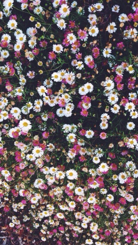 Pink white daisies floral iphone phone wallpaper background lock screen