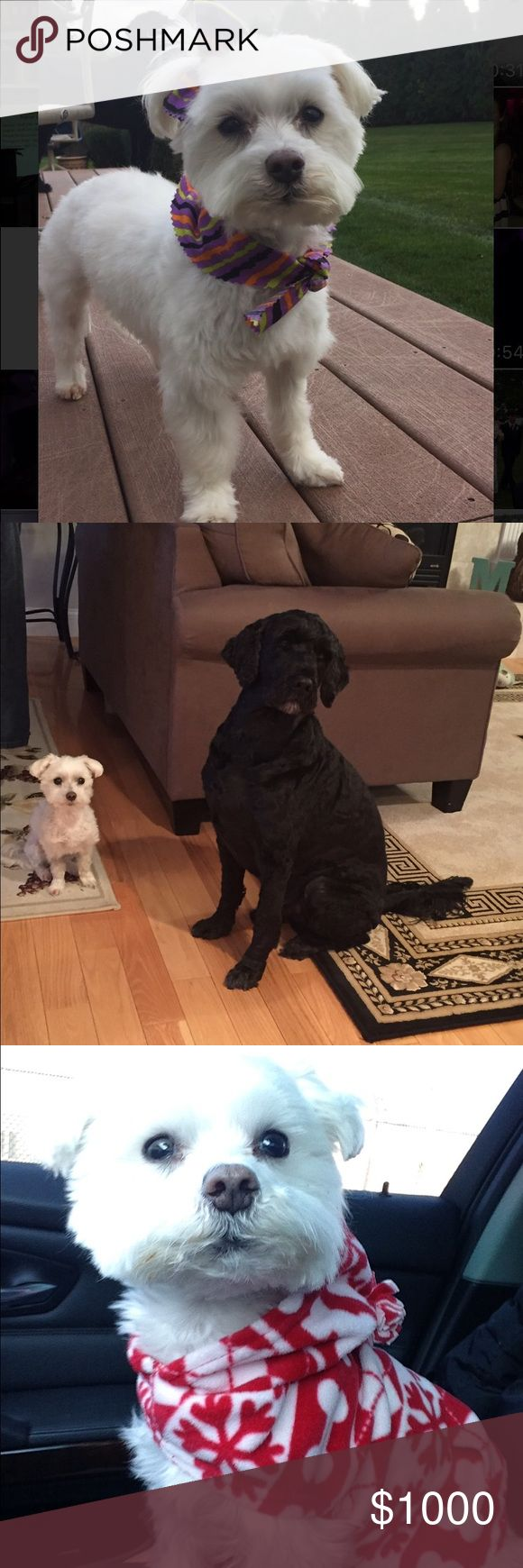 Meet my pups! 🐾🐾 Both of my dogs are hypoallergenic (meaning they have hair-not fur) no shedding!  They truly brighten everyday and are like my children! Pants