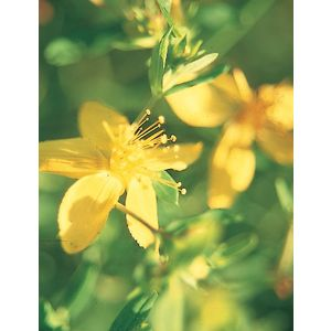 ElixirMillepertuis(Hypericummaculatum)