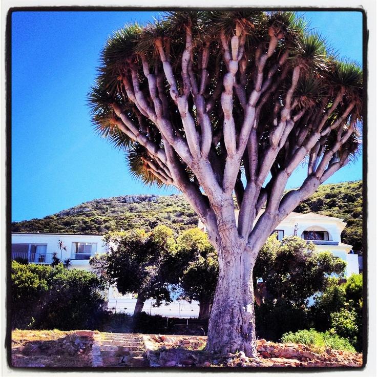 Quiver Tree aka Kokerboom
